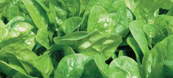 Spinach (Nivithi)